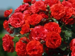 Róże – wymagania i pielęgncja