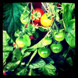 papryka i pomidory