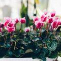 Cyklameny – jak pielęgnować cyklamen perski?