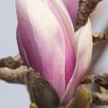Przesadzamy magnolię!