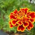 Rośliny przeciw owadom czyli naturalne pestycydy