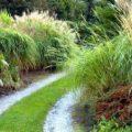 MISKANT CHIŃSKI (trawy ozdobne)