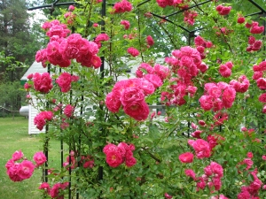 Róże pnące ozdobią każdy ogród