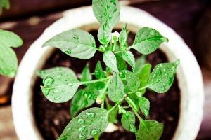 1335971_jalapeno_plant_growing_