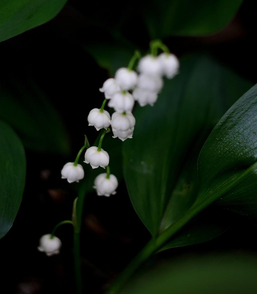 Lanuszka, kokoryczka, Lily of the Valley – konwalia