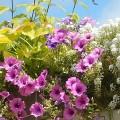 Nawożenie roślin balkonowych
