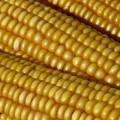 Kukurydza – jedna roślina, wiele zastosowań